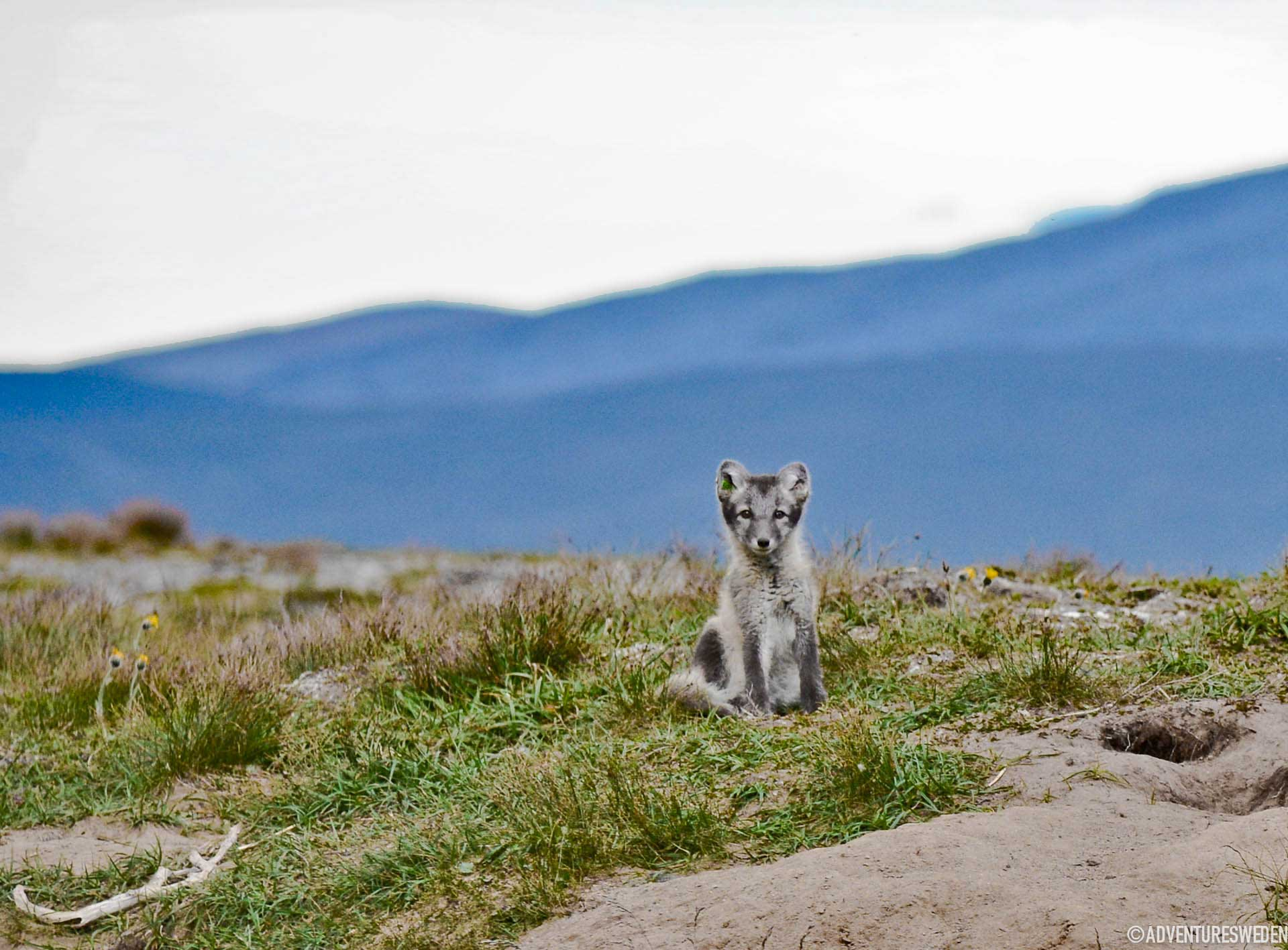 Arctic fox | Photo: Erika Willners