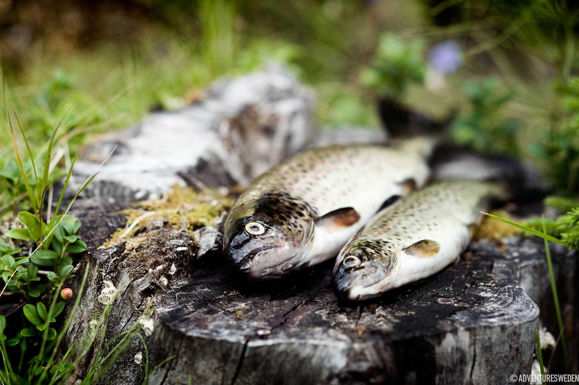 Öringar | Foto: Sandra Lee Pettersson