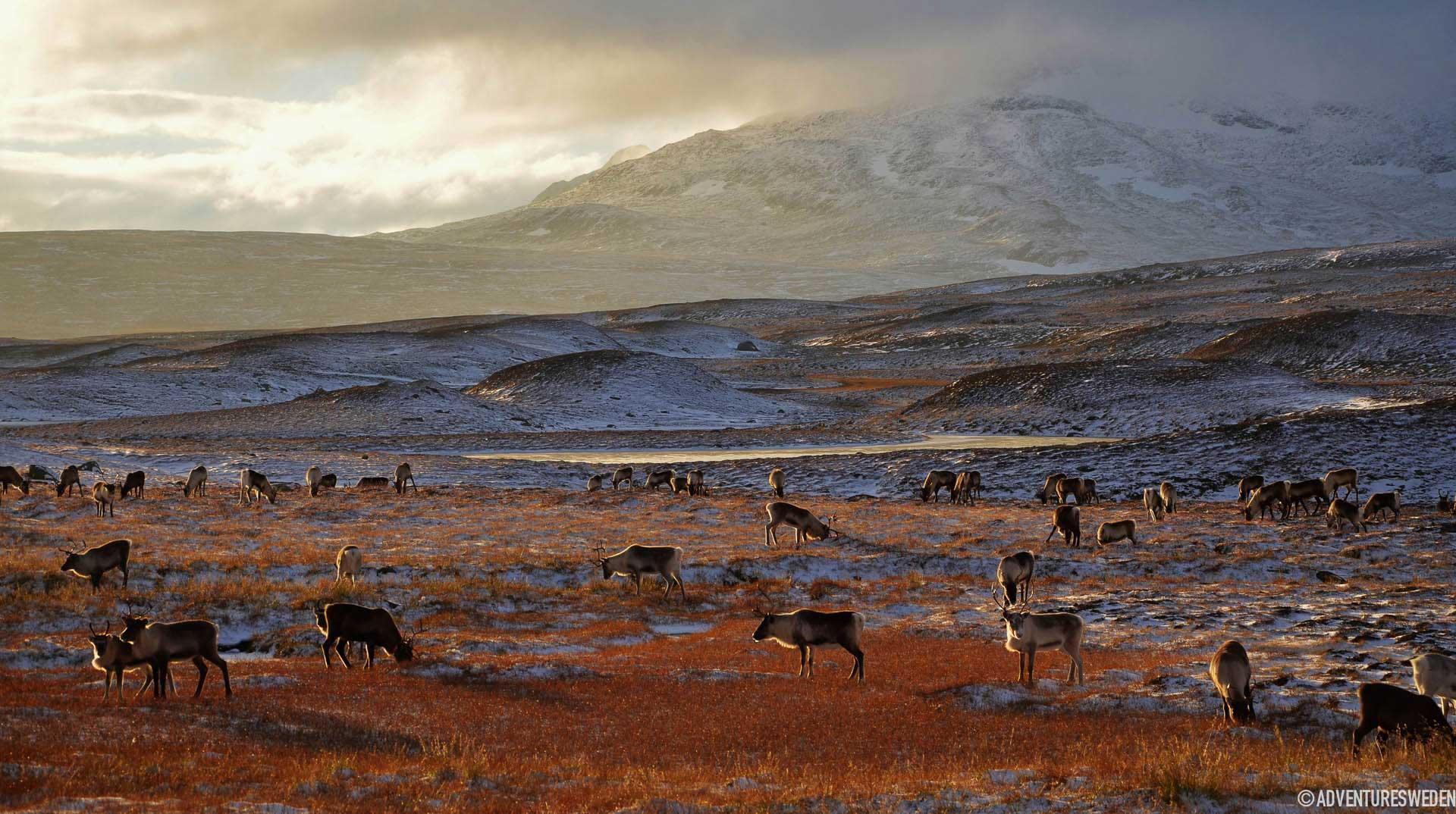 Renar längs Vildmarksvägen | Foto: Madeleine Aaras