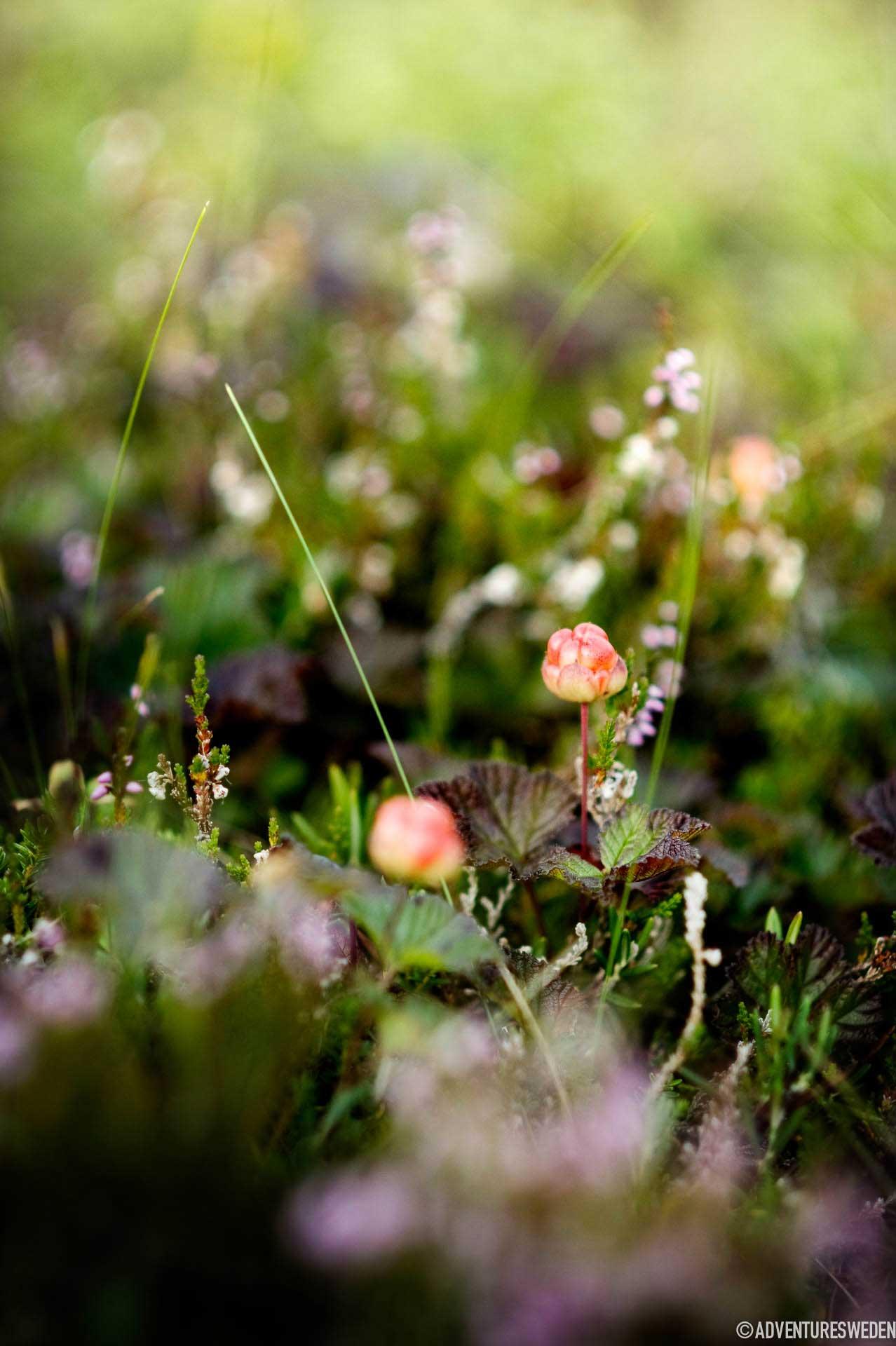 Cloudberries | Photo: Sandra Lee Pettersson