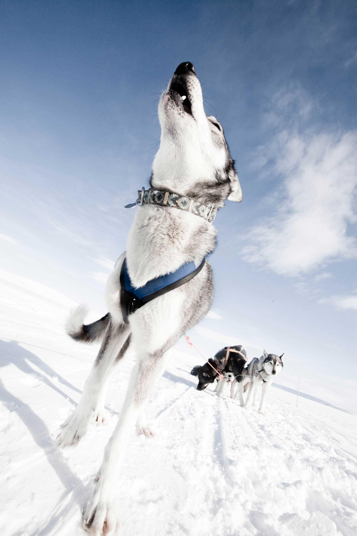 Dog sledding Sweden | Photo: Nicklas Blom