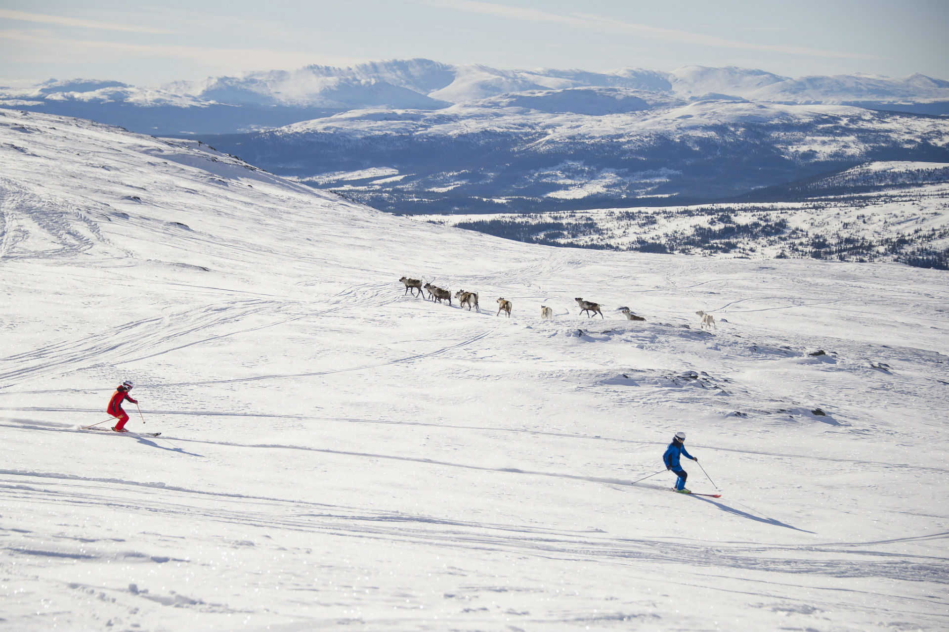 Skiing with reindeers | Adventure Sweden
