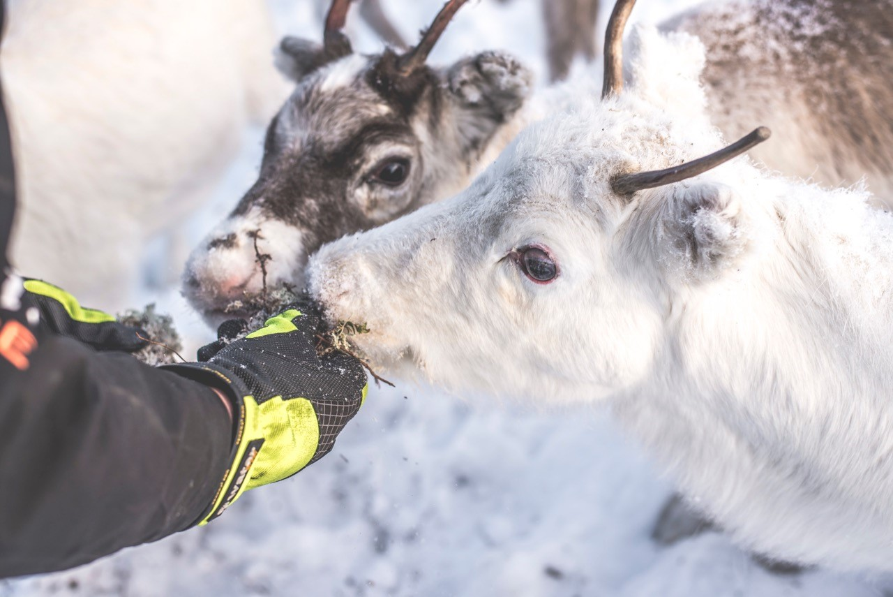 Feed the reindeer in Trillevallen, Åre