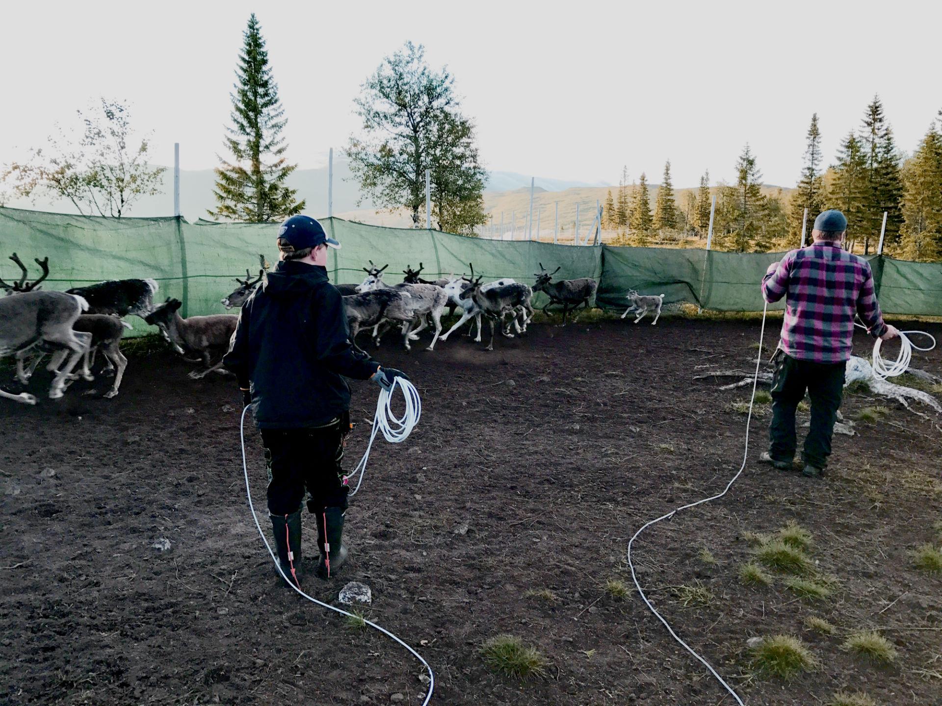 Reindeer separation