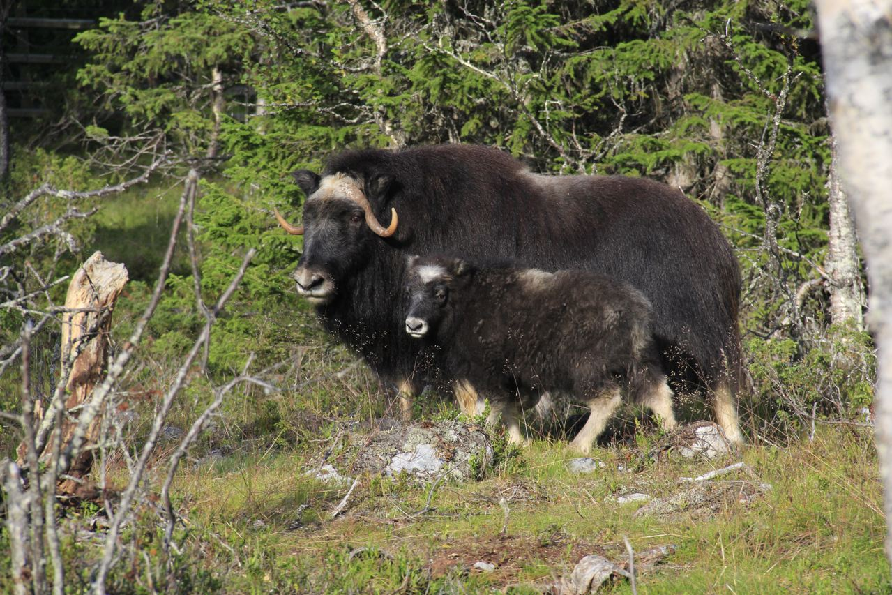 Muskox thriving in Härjedalen