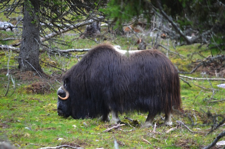 Musk ox insulating coat