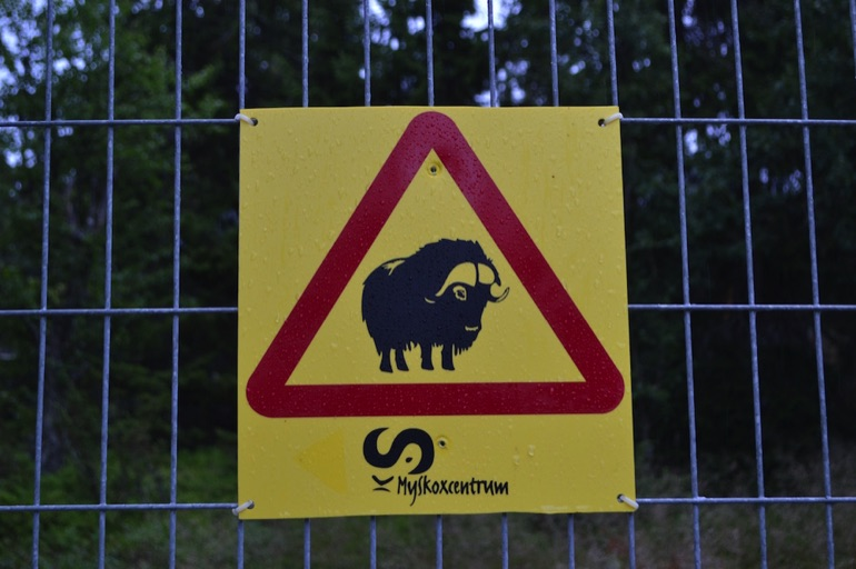 Musk ox warning sign