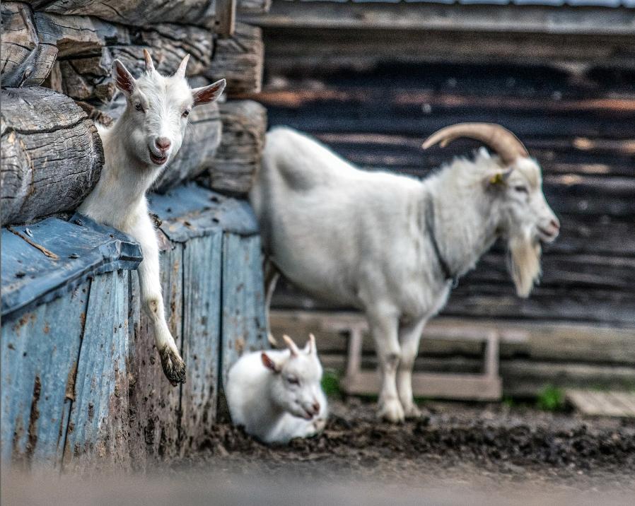 goat_sonfjallet_national_park
