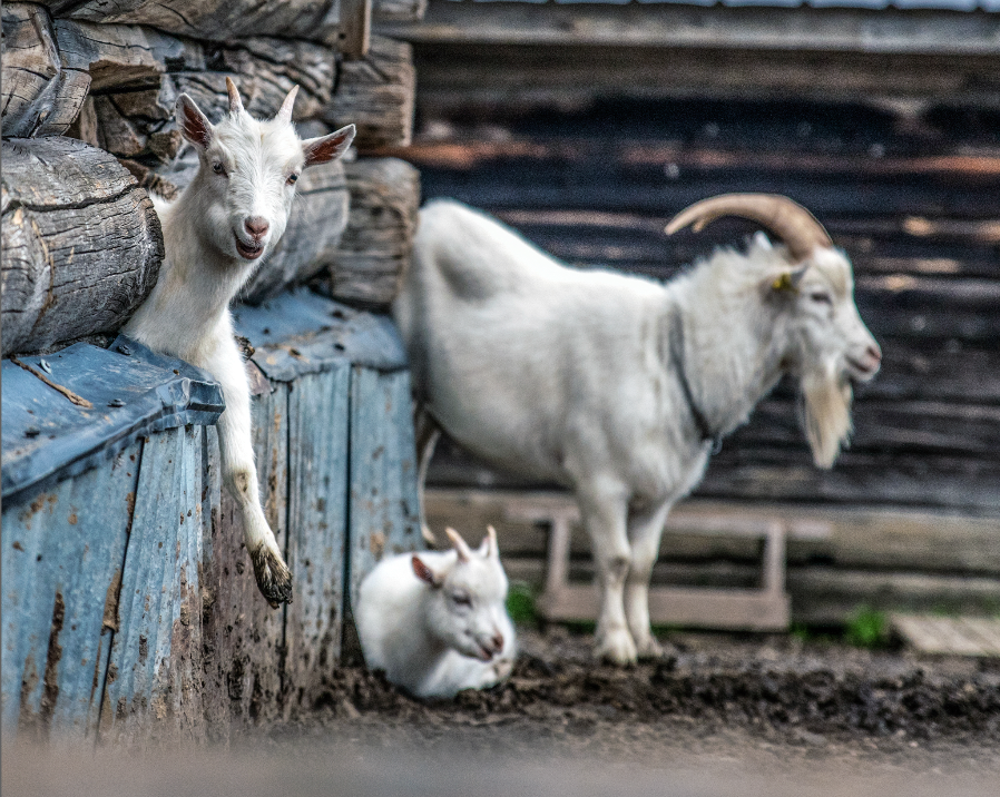 goat_sonfjallet_national_park