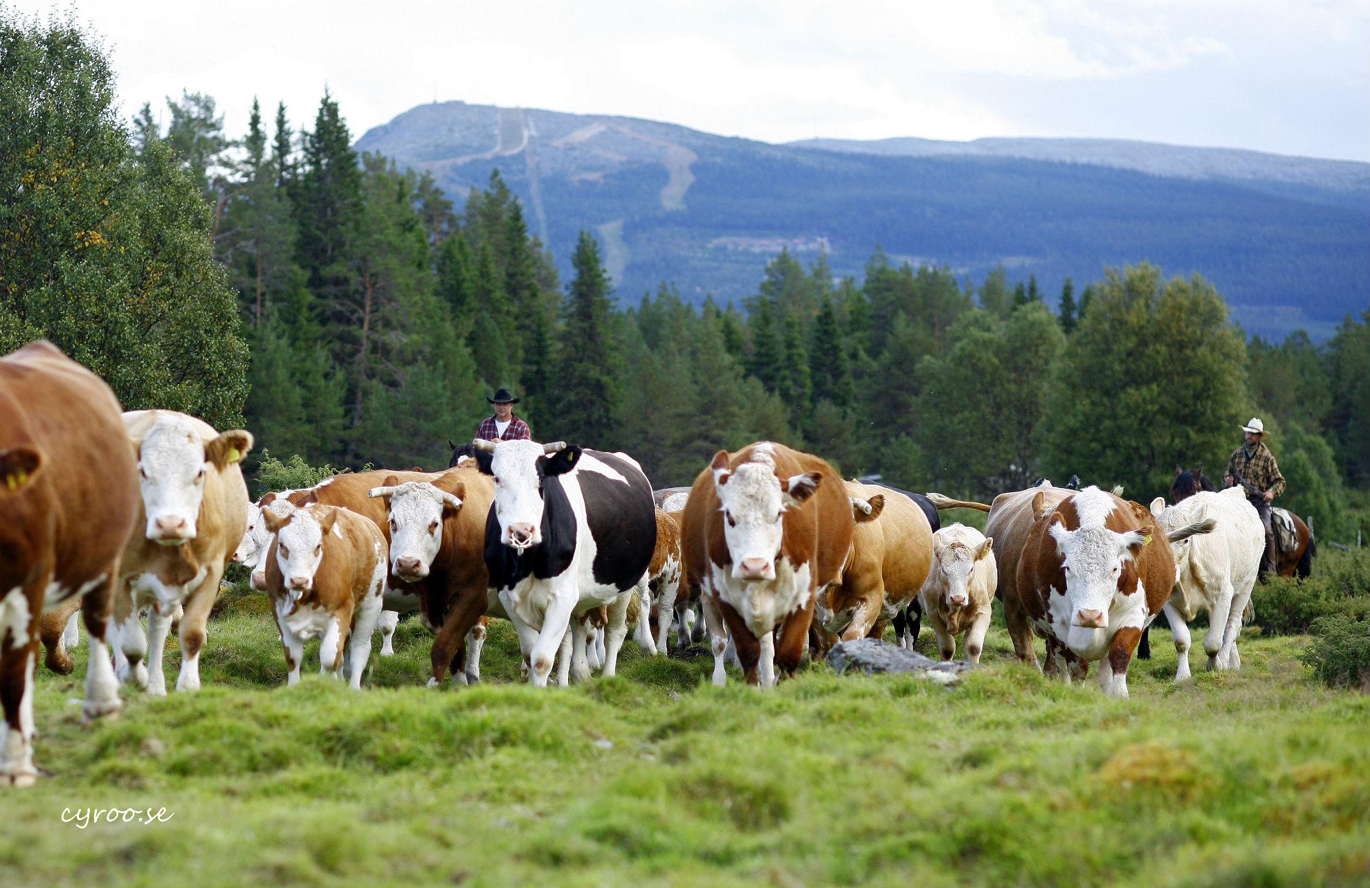 Herding_cattle_Vemdalen_Margareta_Johansson